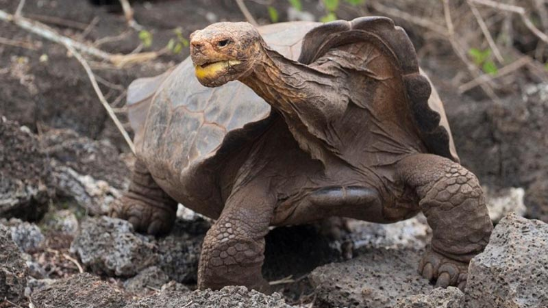 Father of 2000 babies Diego, 'the Casanova tortoise' retires