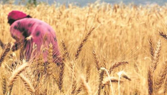 Despite several challenges, wheat procurement task in Punjab has been accomplished: Bharat Bhushan Ashu