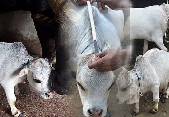 Dwarf cow in Bangladesh's Dhaka attracts thousands of visitors