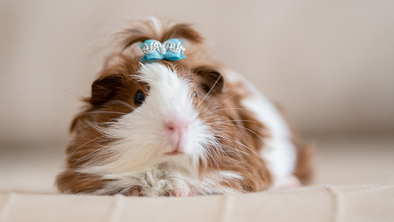 Guinea Pig Appreciation Day 2021: Look at how you can celebrate this day
