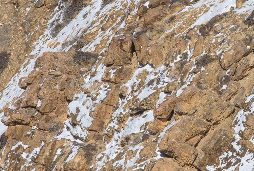 Internet struggles to spot snow leopard in this image. Can you?