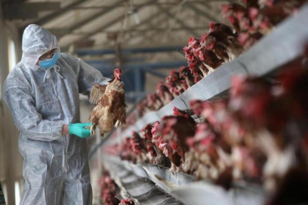 Explained: How Do Humans Get Bird Flu? Symptoms, Causes and Prevention