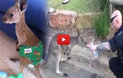 Viral Video of officer helping thirsty kangaroo affected by Australian bushfire
