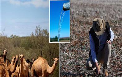 Australia to kill 10,000 camels amidst massive bushfires