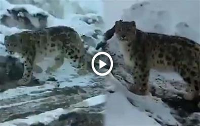 Rare Snow Leopard Spotted In Himachal's Spiti. Video goes viral