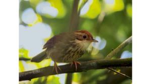 Puff-throated babbler bird seen for the first time in Rajasthan